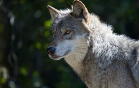 Are Wolves Coming Back to Colorado?