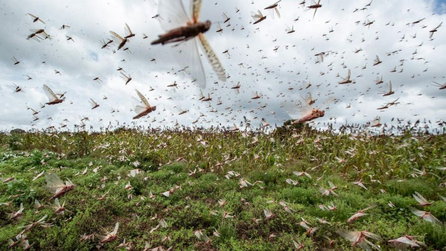 Locusts Swarm Africa and Pose Threat to Food Security